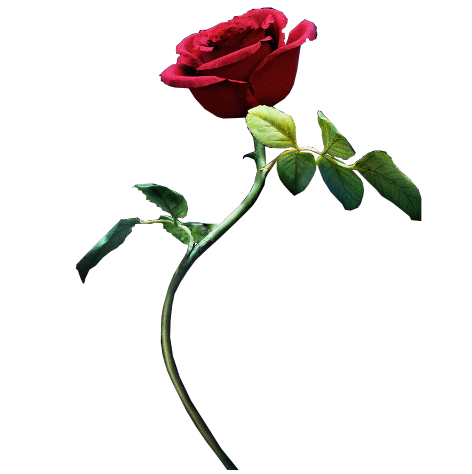 Beauty and the beast rose png. By mintmovi on deviantart