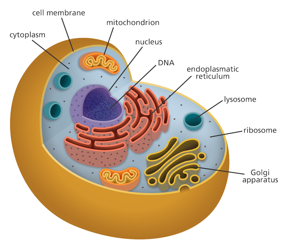 Mitochondria Animal Cell Transparent Png Clipart Free Download