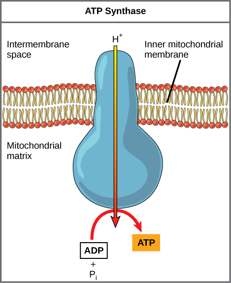 Mitochondria transparent atp. The structure and function