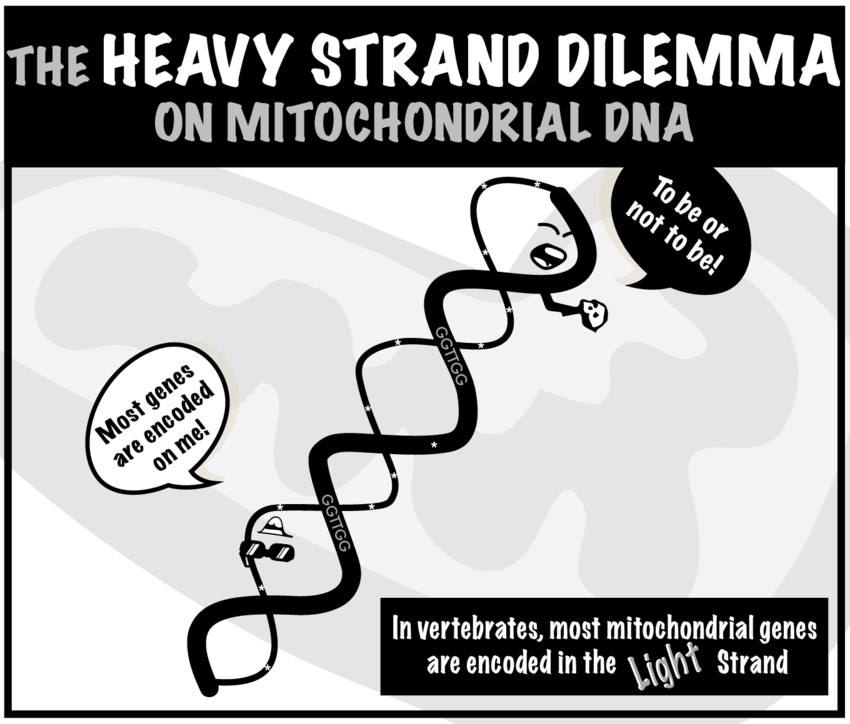 Mitochondria transparent cartoon. A that resumes the
