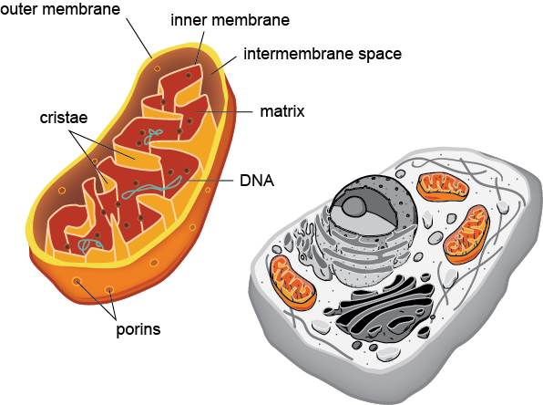 Mitochondria transparent cartoon. Hyperactivity the science of