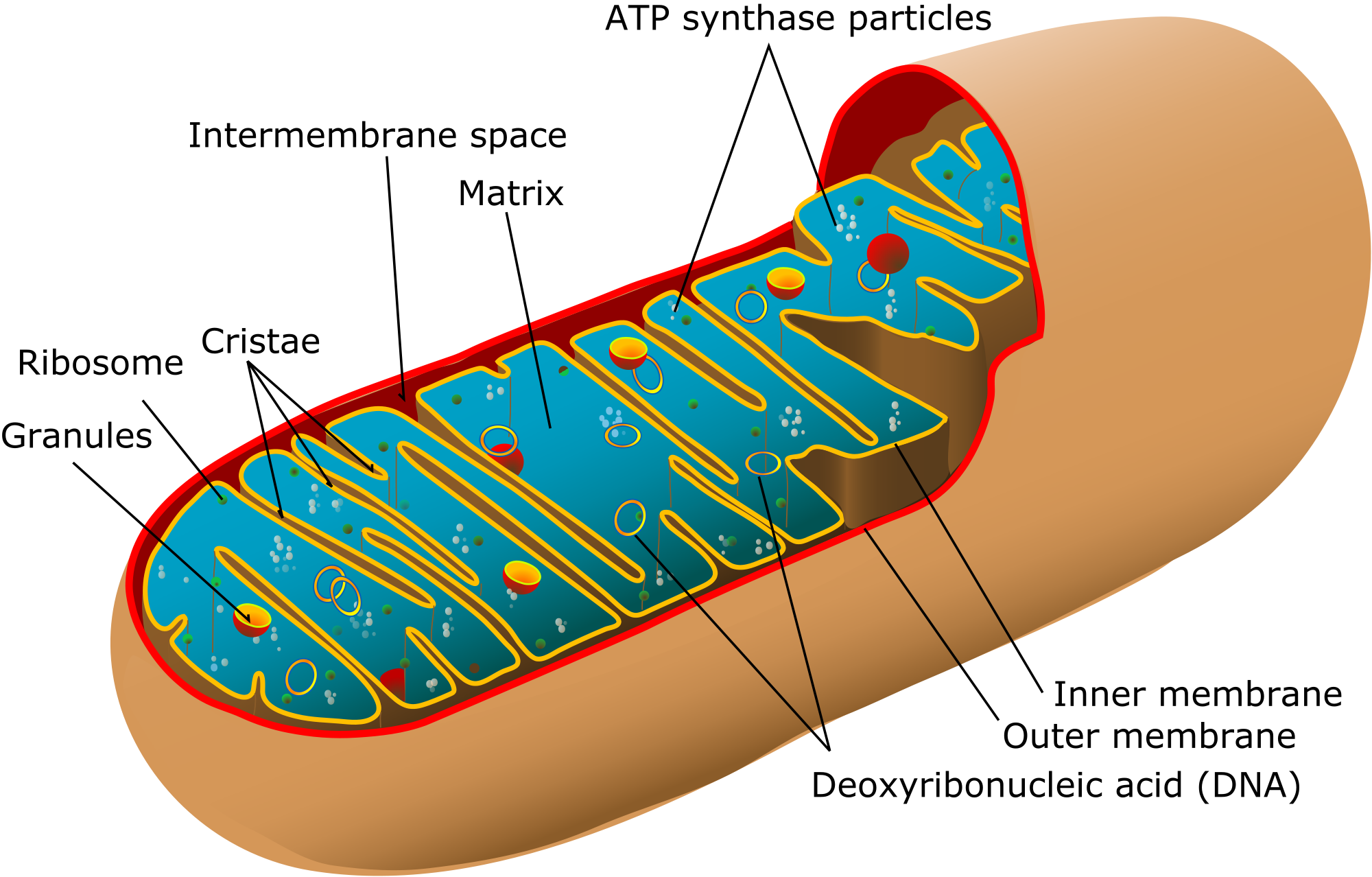Mitochondria transparent cartoon. Structure function teachmephys