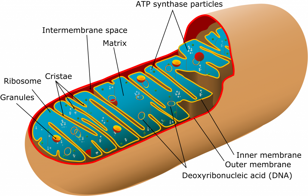 Mitochondria transparent cartoon. Structure function teachmephys fig