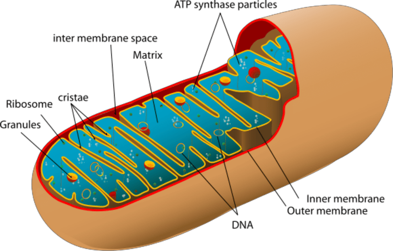Mitochondria transparent eukaryotic cell. Power producers in cells