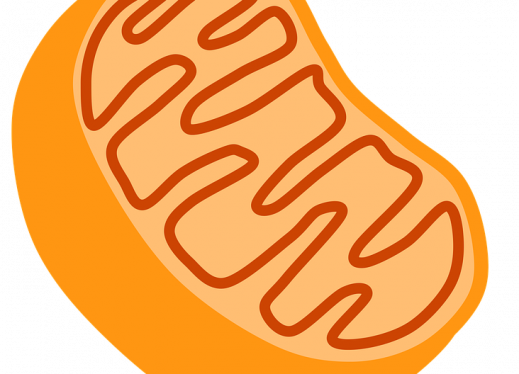 Mitochondria transparent realistic. Cellular respiration kinesthetic activity