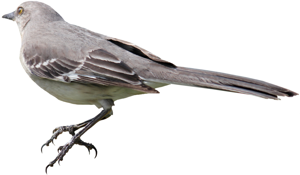 Mockingbird transparent aos. Png images pluspng by