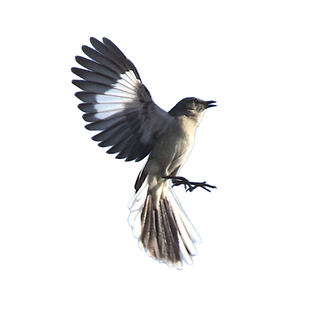 Mockingbird transparent northern. When the dead buries svg freeuse