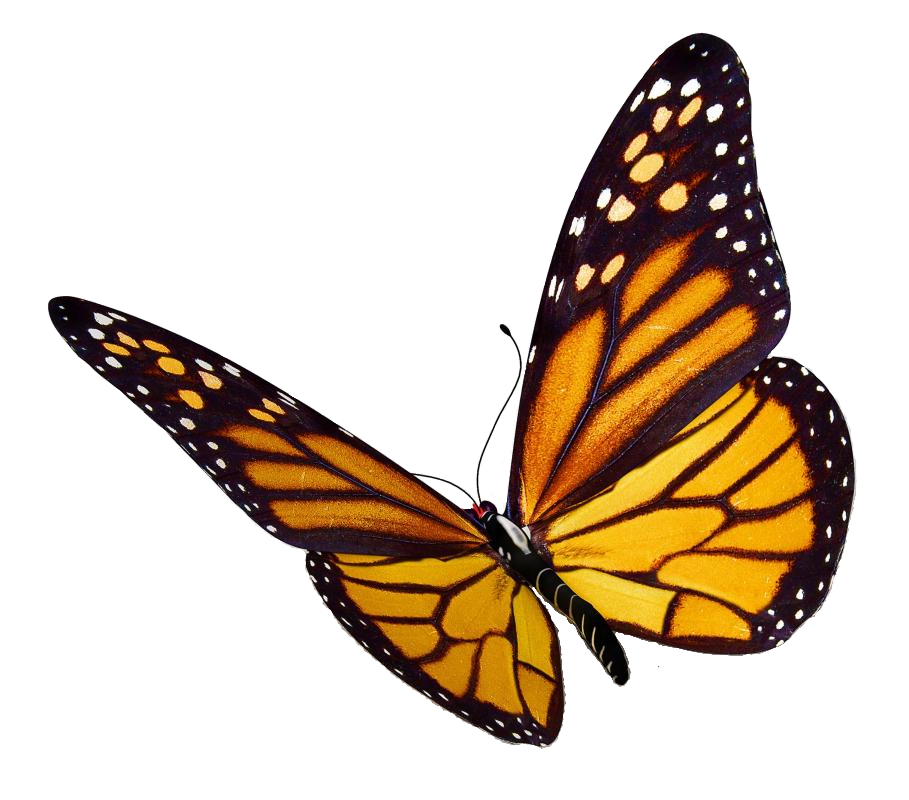 Monarch butterfly png. Free icons and backgrounds