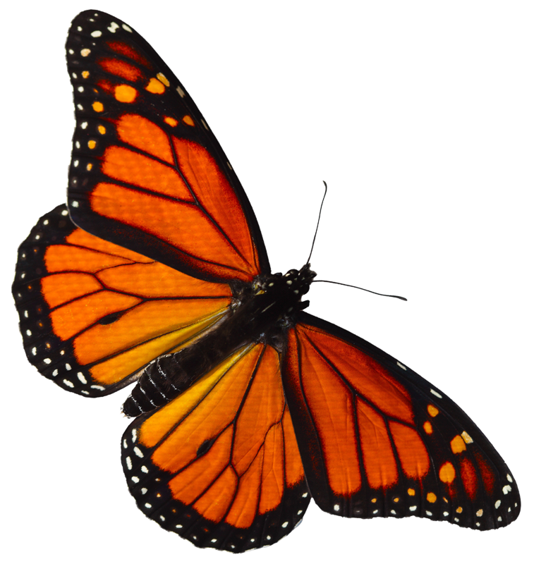 Monarch butterfly png. The wetlands institute monarchbutterfly