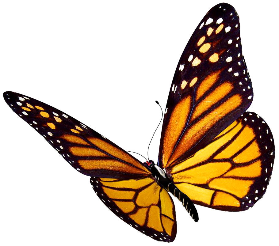 Butterflies flying png. Monarch butterfly clipart at