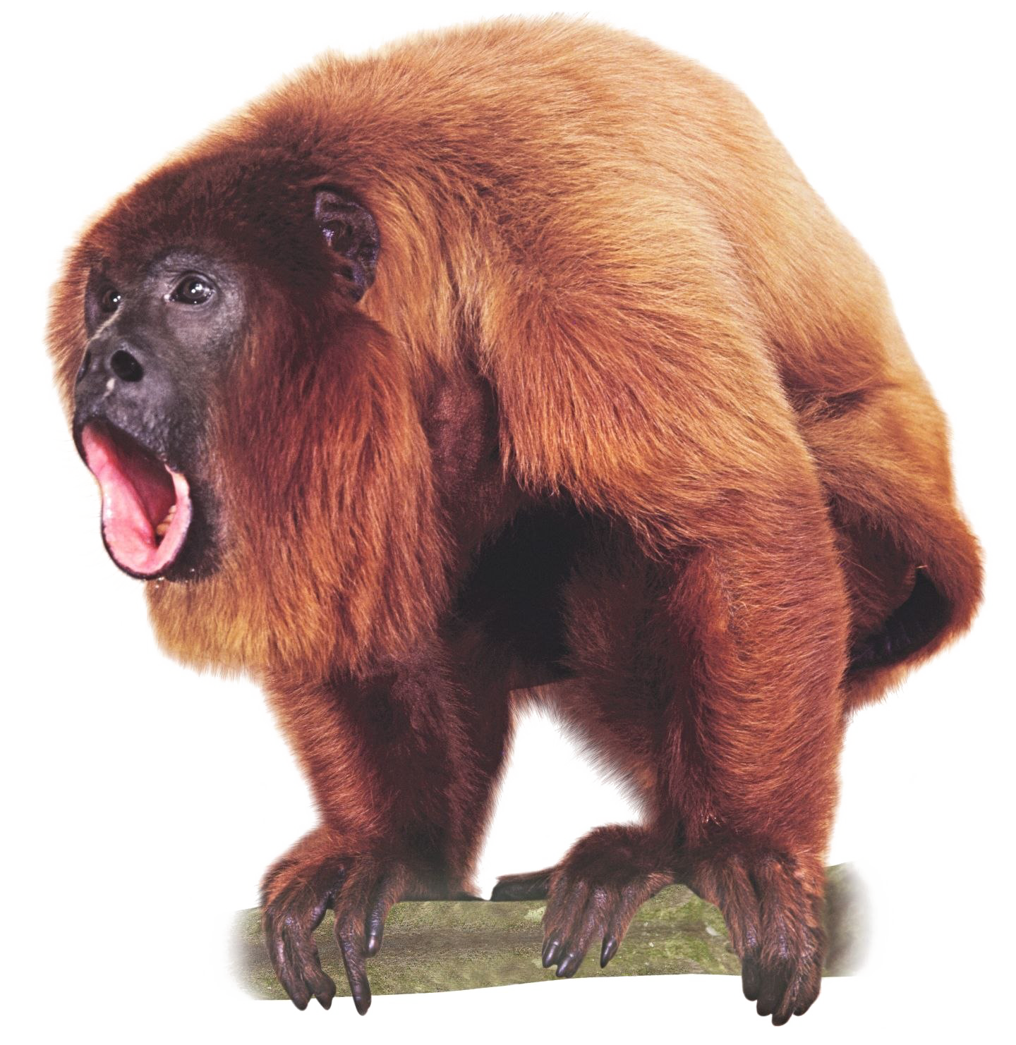 Image with transparent background. Monkey png images clipart royalty free stock