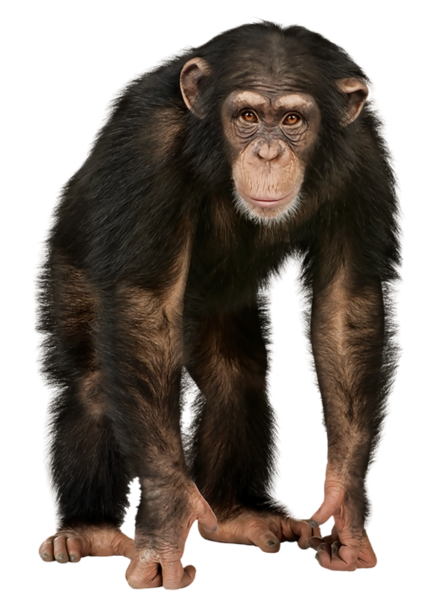Official psds share this. Monkey png images vector black and white download