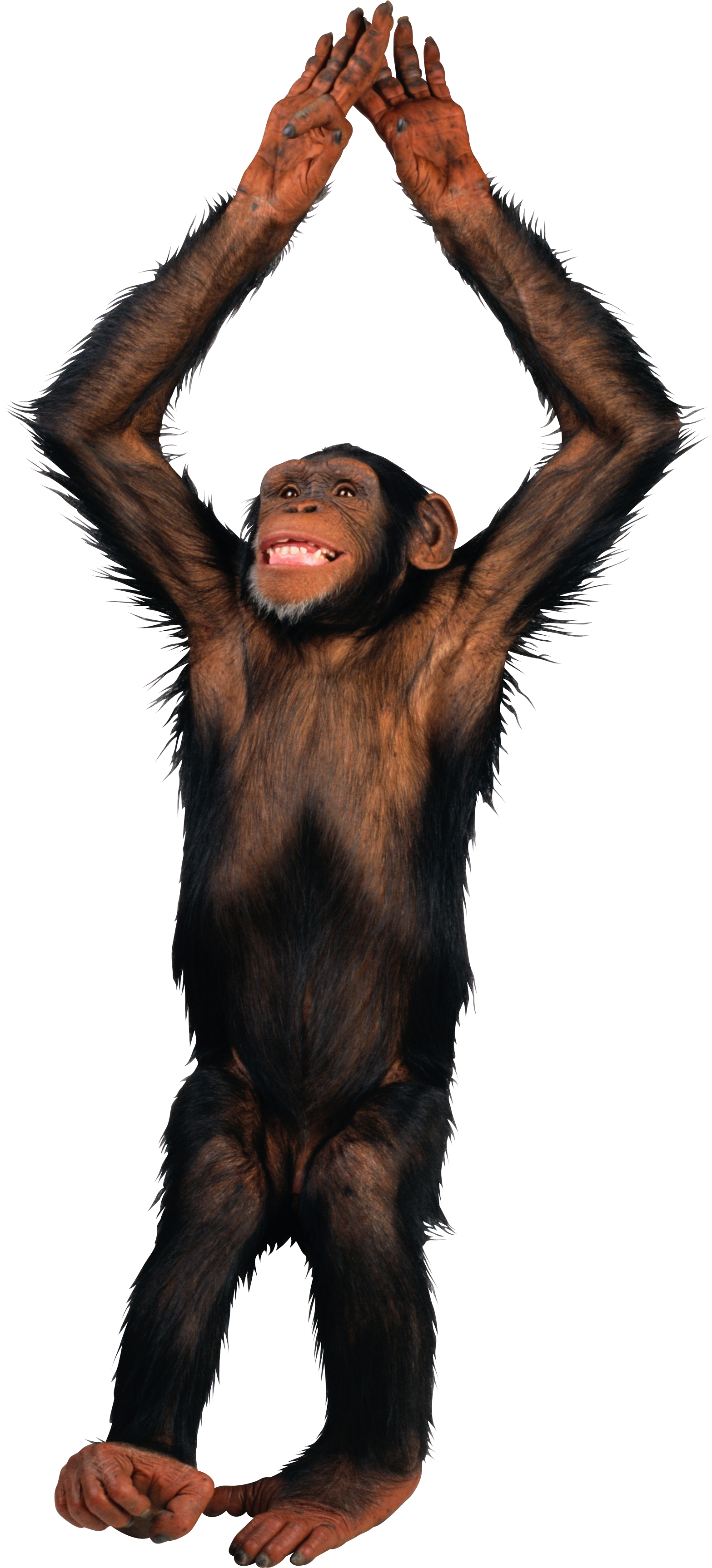 Transparent pinterest and animal. Monkey png images graphic transparent download