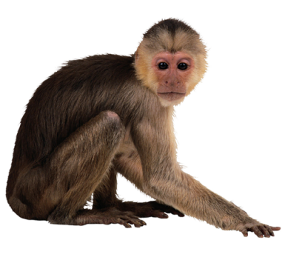 Image dlpng download with. Monkey png images clip download