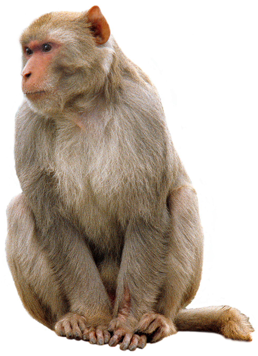 Monkey png images. Free download