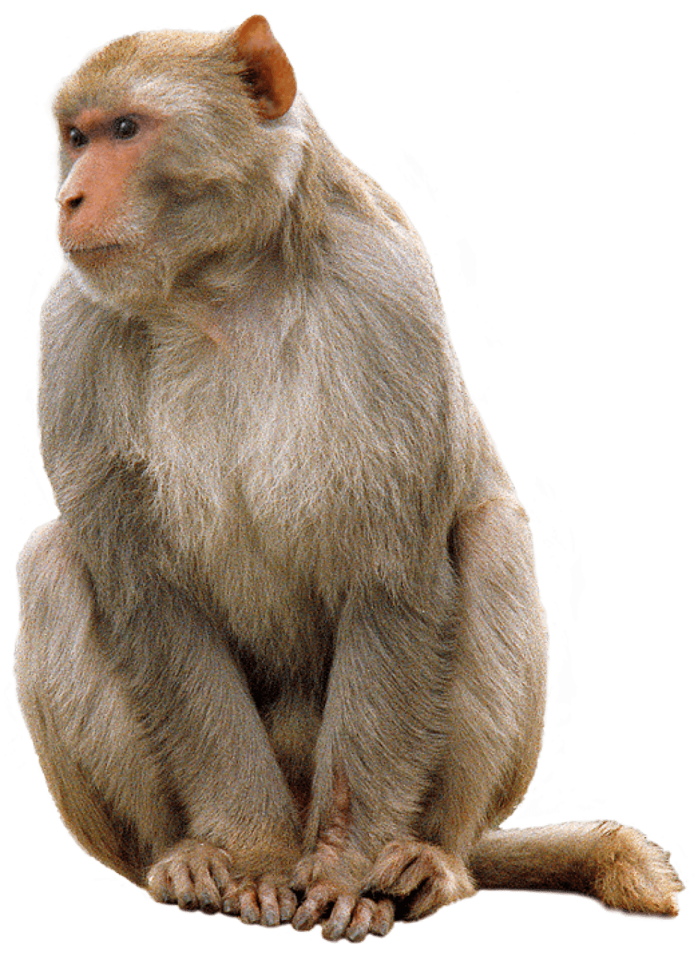 Sitting transparent stickpng animals. Monkey png images clipart freeuse library