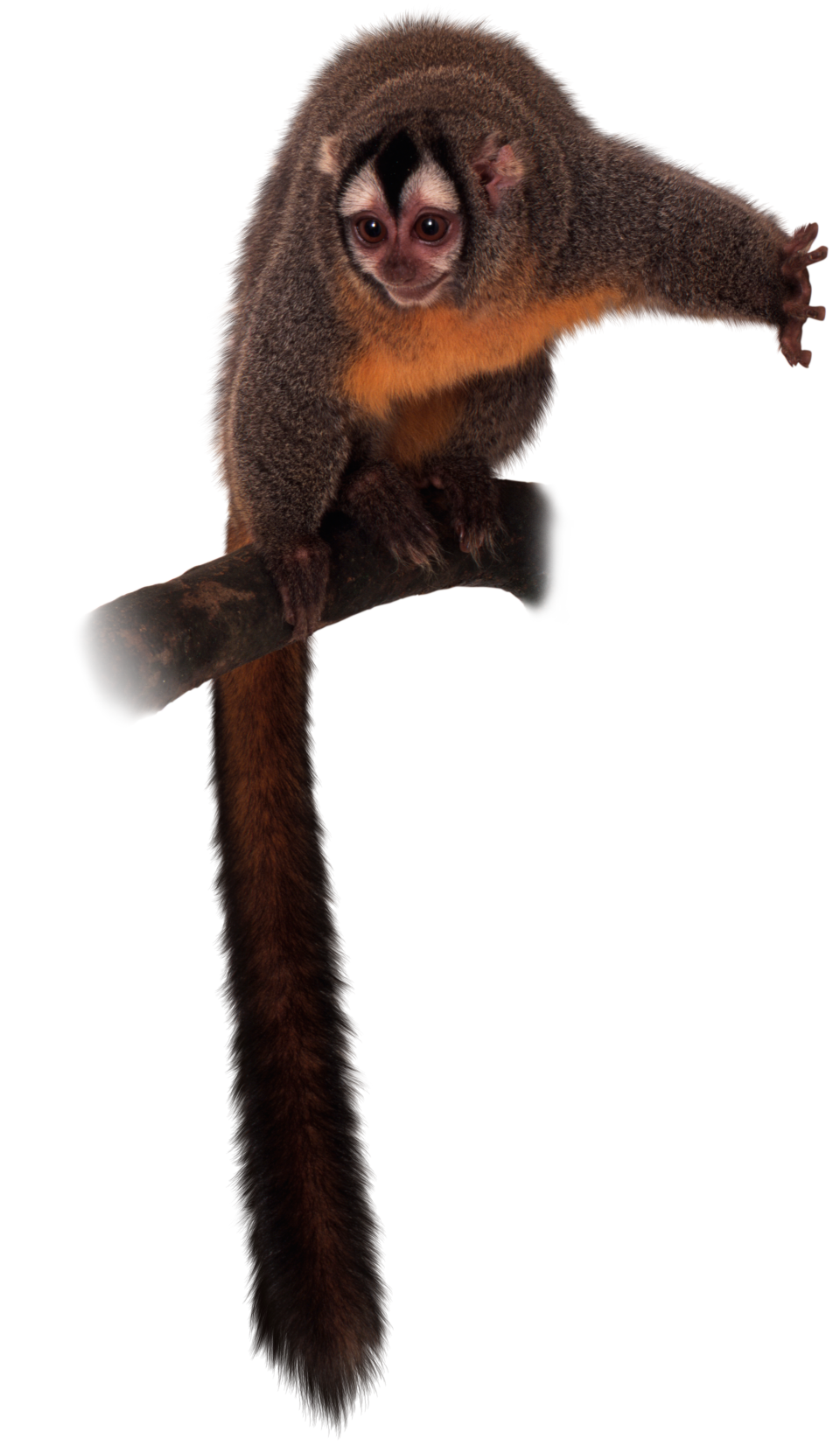 Monkey tail png. New world monkeys what