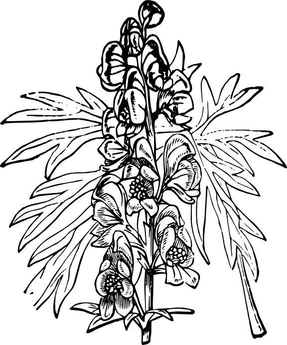 monkshood drawing pea plant