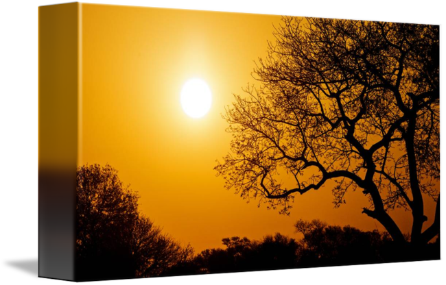 Morning drawing sunset. Golden with big tree