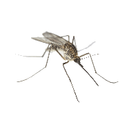 Mosquito clip art. Download free png photo