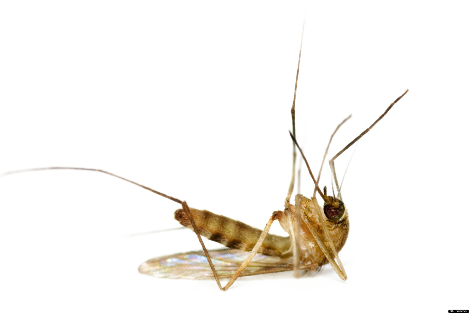 Vector parasite arthropod. Mosquito png images free