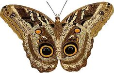 Moth brown butterfly