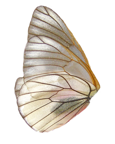 Transparent moth different. Butterfly tumblr