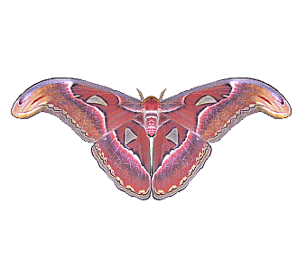 Moth png. File atlas wikimedia commons