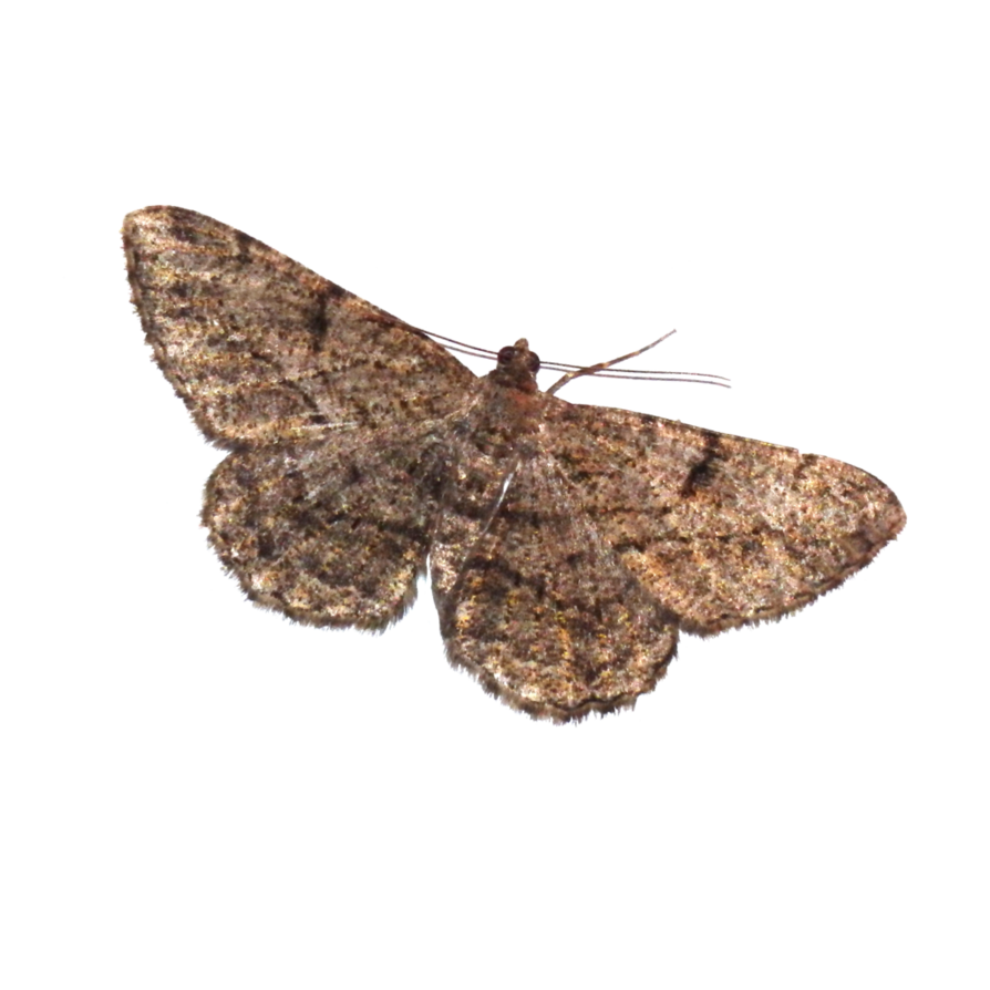 Transparent moth background
