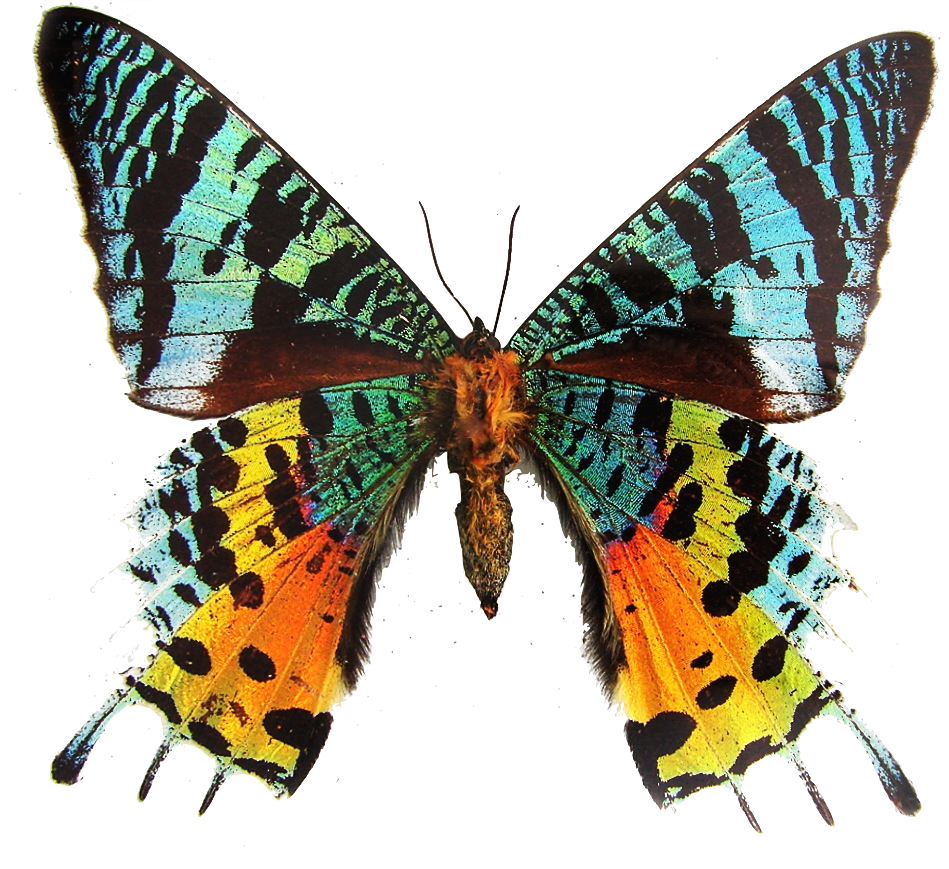 Moth wings png. Colorful transparent butterfly insect