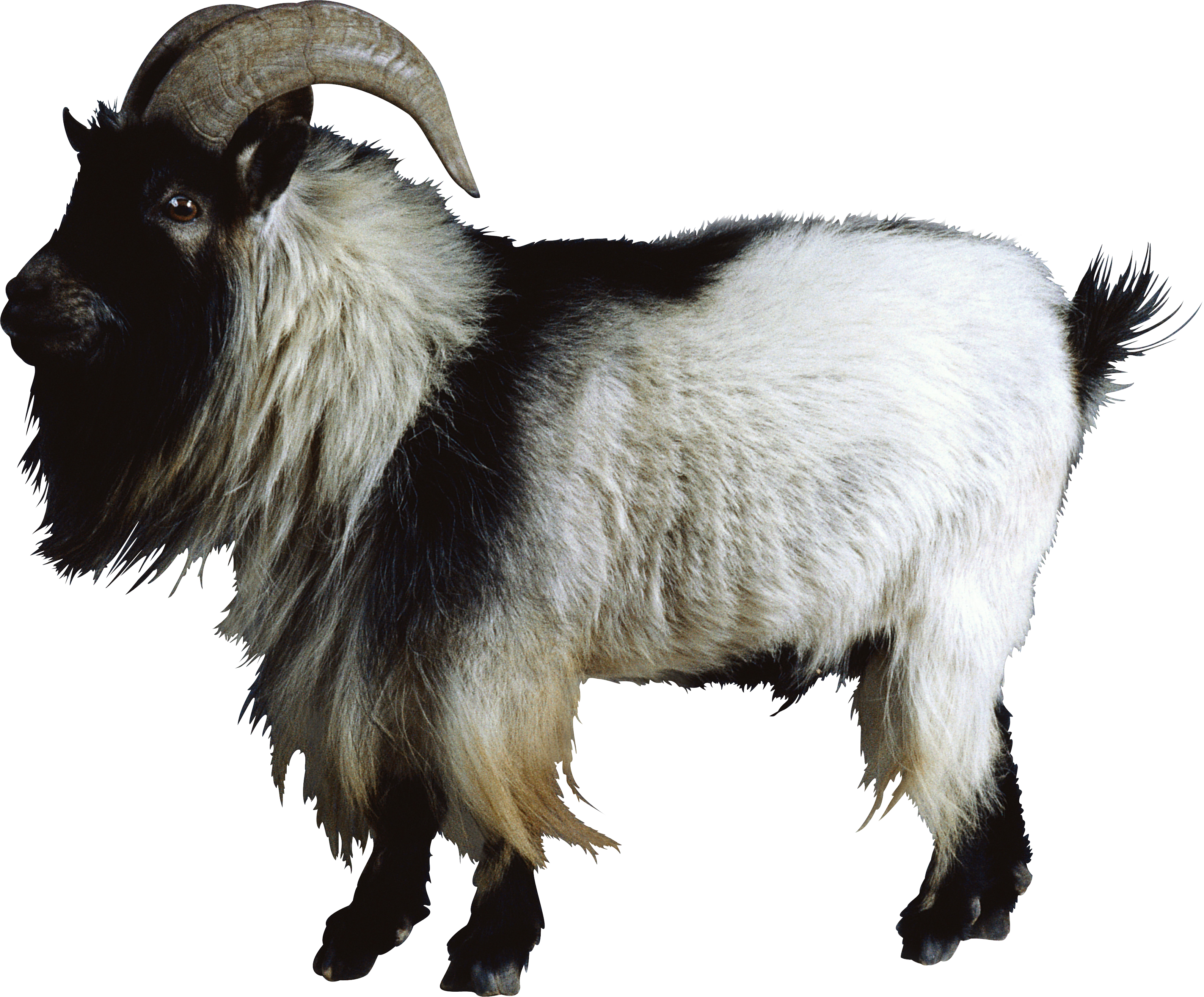 Mountain goat png. Hd transparent images pluspng