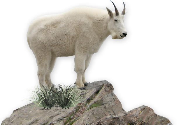 Mountain goat png. Chamois lake chelan animal