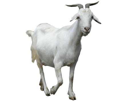 Mountain goat png. Walking transparent stickpng animals