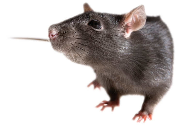 Mouse animal png. Rat mice free images