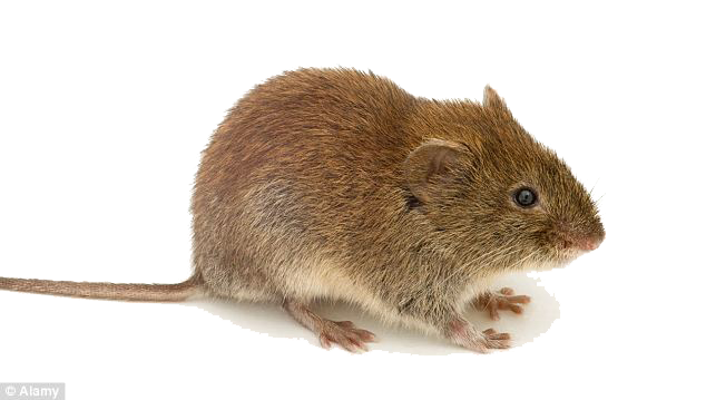 Mouse animal png. Mice transparent images all
