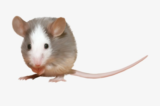 Mouse clipart rodent. Animal rodents png image