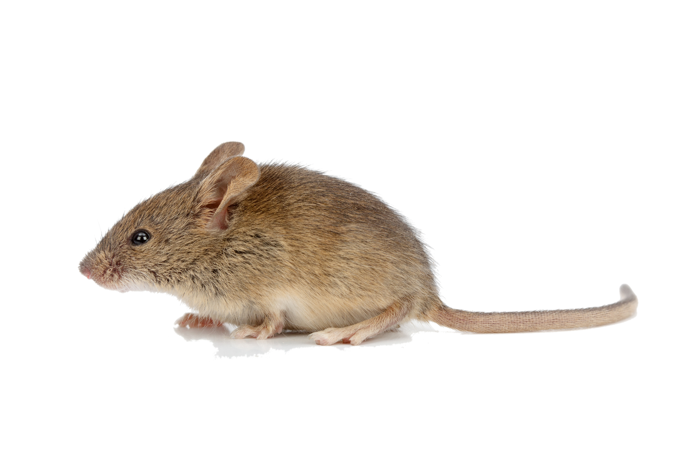 Animal mice transparent images. Mouse png picture transparent stock