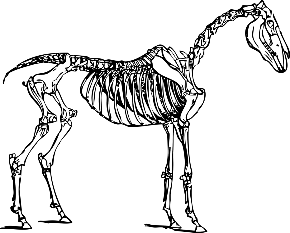 Anatomy vector skeletal system. Of the horse skeleton