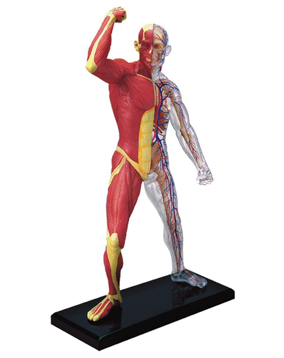 Muscle anatomy png. Skeleton model archidemia