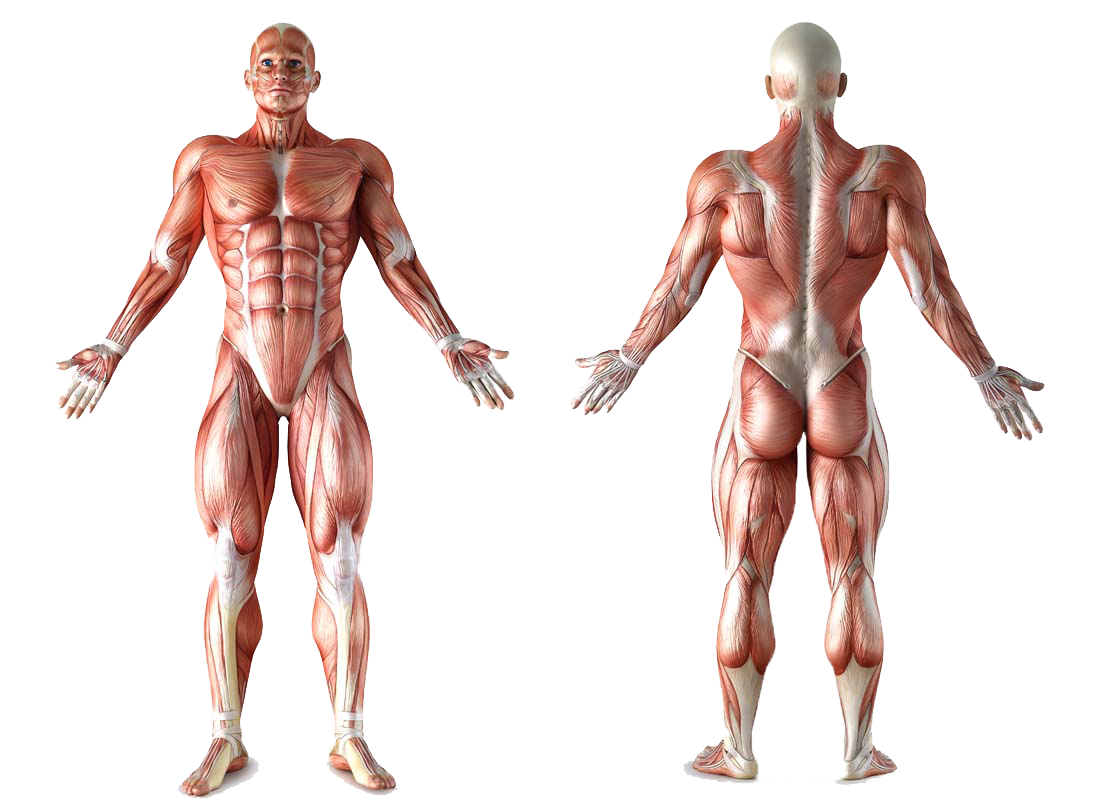 20 Muscle Anatomy Png For Free Download On Ya Webdesign