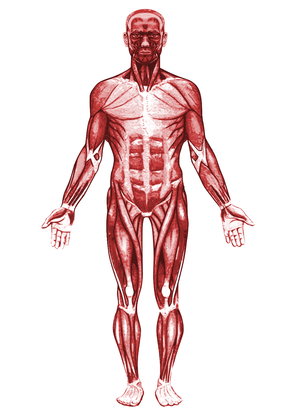 Muscle anatomy png. File muscular system svg