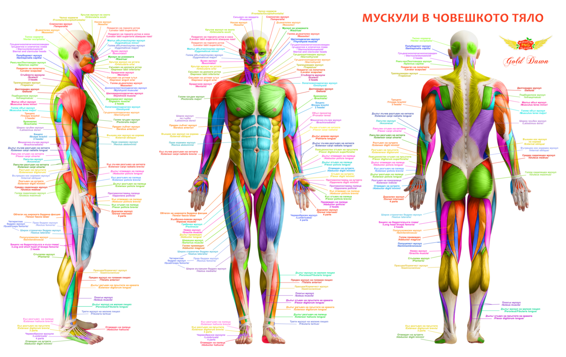 Muscle anatomy png. Body muscles free by