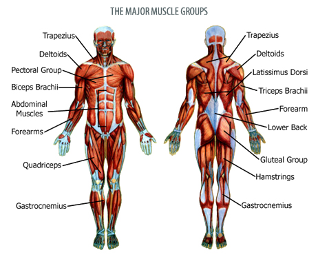 Muscle anatomy png. Musclegroups pinterest musclegroupspng