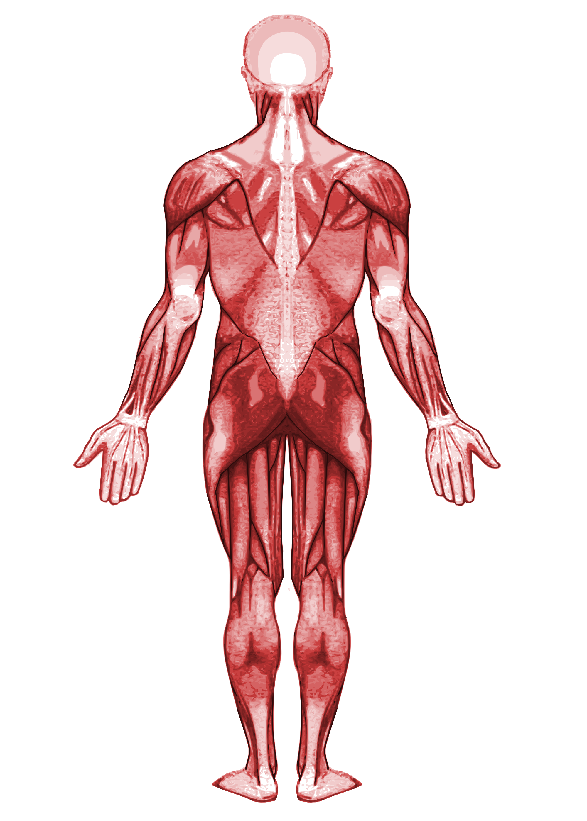 Muscle back png. File muscular system svg