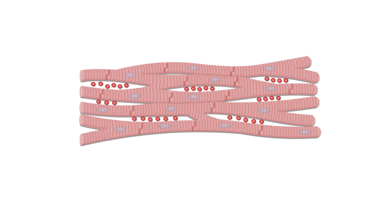 muscle cells png