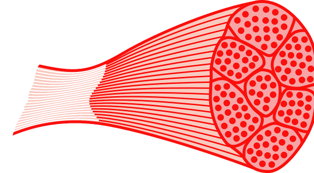 Muscle cells png. Model behavior myotubes and