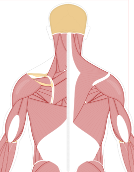 Muscle clipart come here. Muscular system human anatomy