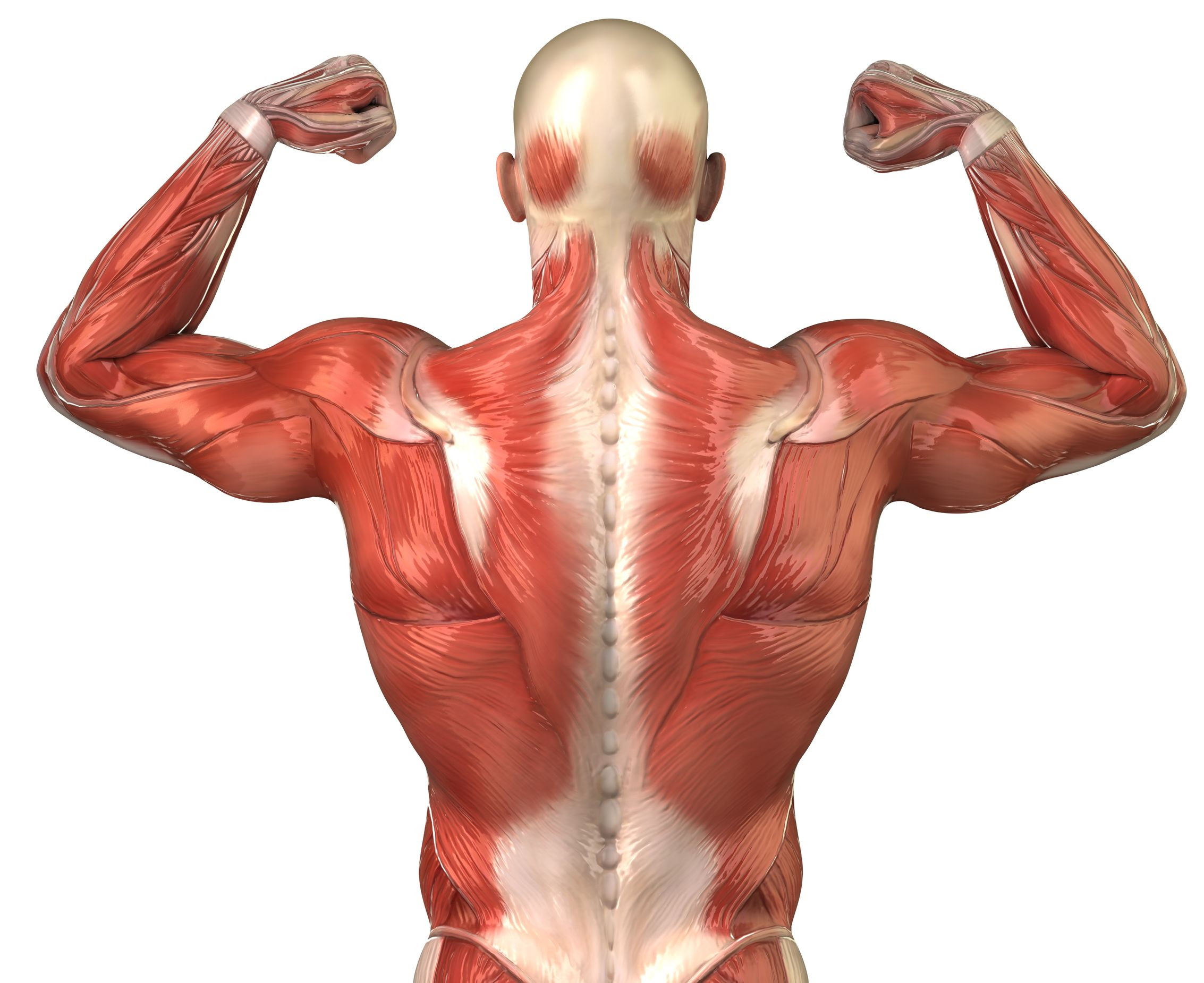 Muscle clipart gain. Discover how to mass