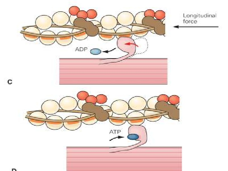 Muscle clipart muscle contraction. Mechanism chirantan mandal
