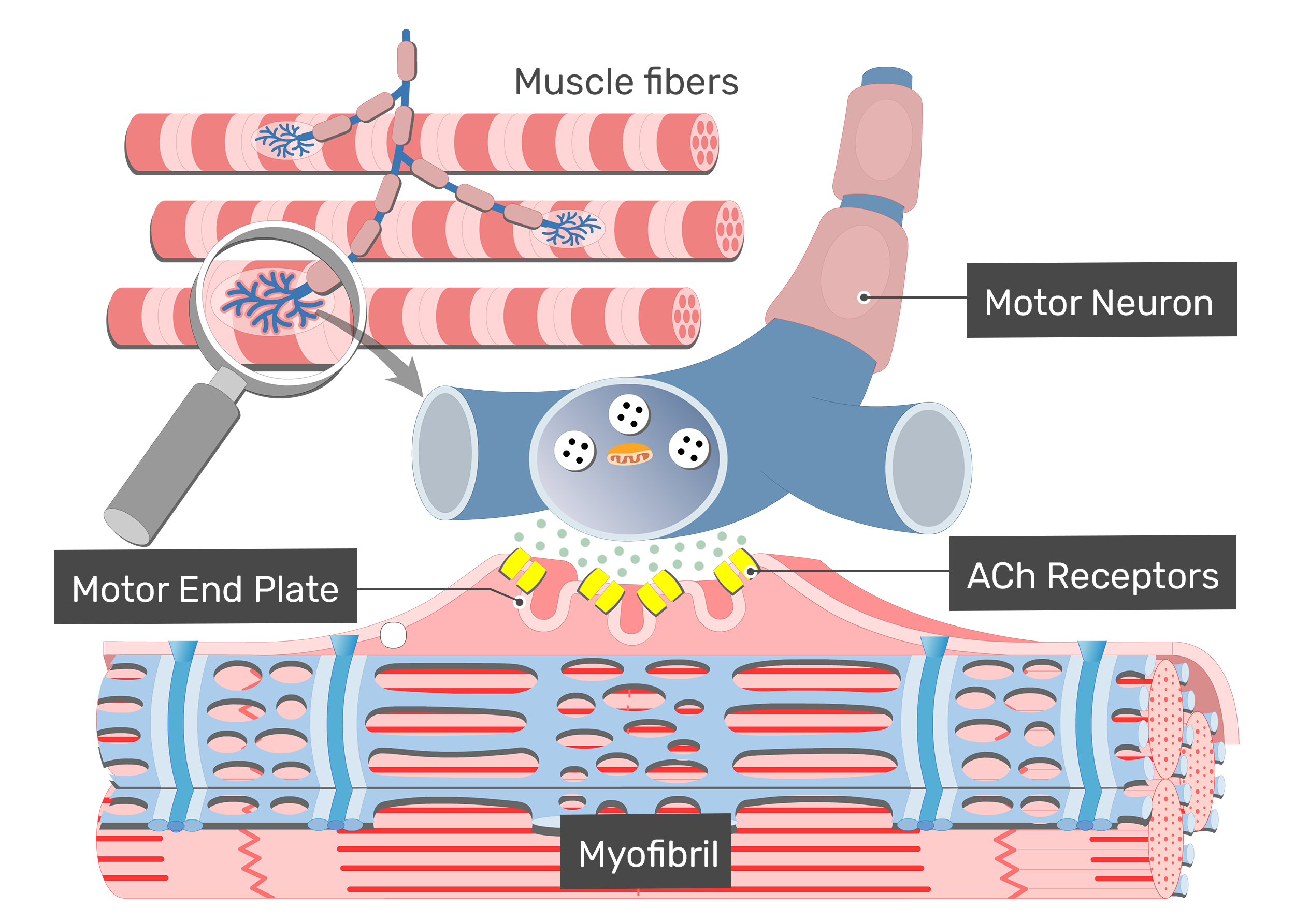 Excitation coupling motor end. Muscle clipart muscle contraction image library